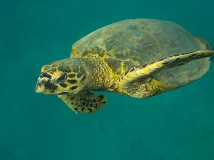 Karettschildkröte - Hausriff Hotel Lahami Bay Berenice