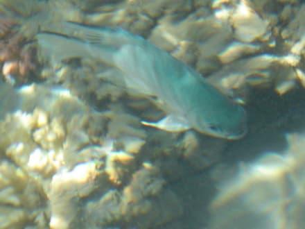 Fisch - Schnorcheln Makadi Bay
