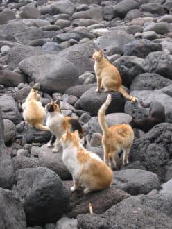 wildlebende Katzen in der Schlucht - Masca Schlucht