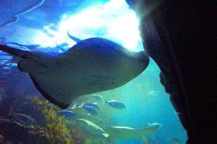 Stingrays - Melbourne Aquarium