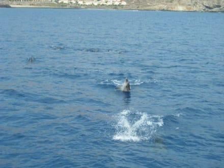 Spielende Delfine in freier Natur - Delfin Tour Playa de las Americas