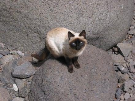 Katze in der Masca-Schlucht - Masca Schlucht (geschlossen)