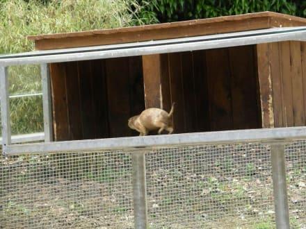 Präriehund - Tierpark Aachen