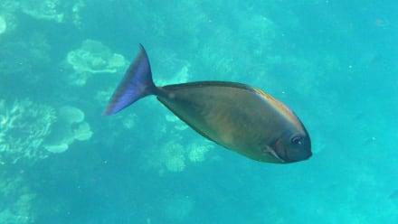 Doktorfisch (schnorchelnd) - Schnorcheln Ari Atoll