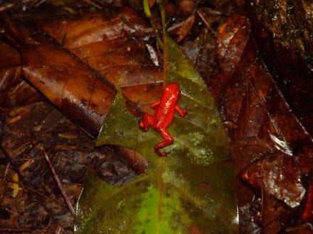 Dentrobat - Nationalpark Tortuguero