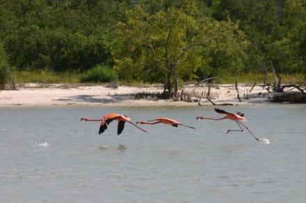 Flamingos - Isla Holbox