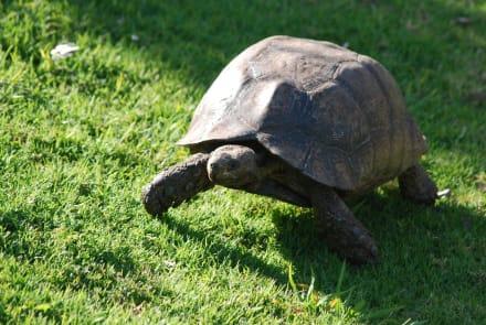 Schildkröte - Botanischer Garten Kirstenbosch