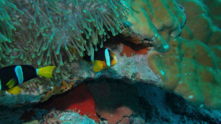 Anemonenfische - Holiday Island Resort