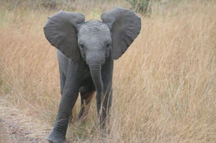 Ich bin hier der Chef - Masai Mara Safari