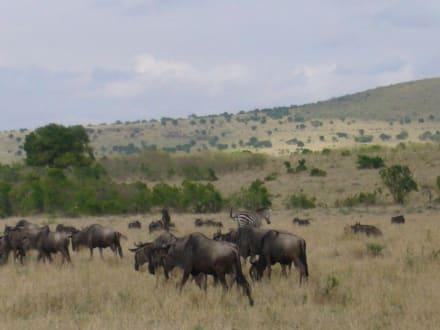 Gnus - Masai Mara Safari
