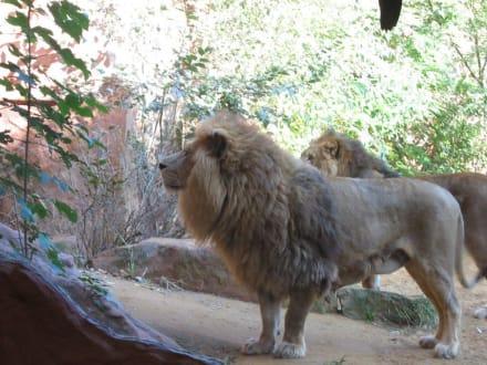 Löwen - ZOOM Erlebniswelt Gelsenkirchen (Zoo)