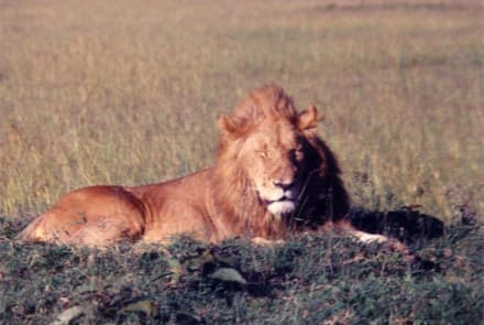 The King of the wilderness - Masai Mara Safari