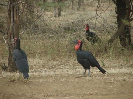 schöne Vögel - Amboseli Nationalpark