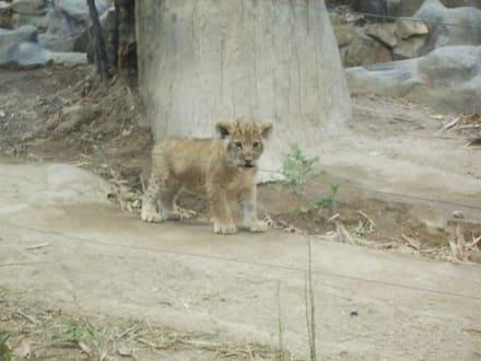 Junger Tiger - Khao Kheow Open Zoo