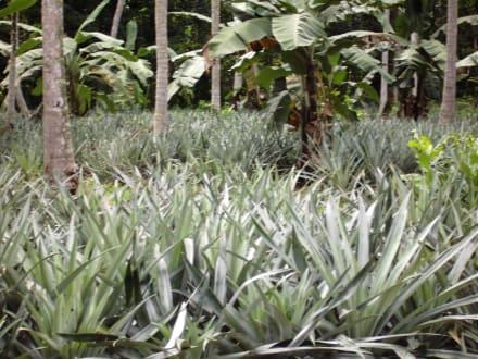 Ananas-Plantage - Ananas Plantage