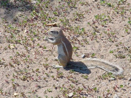 Streifenhörnchen - Etosha Nationalpark
