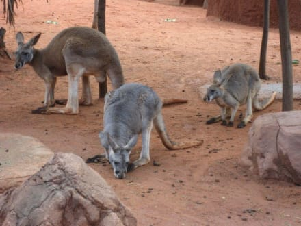 Känguru - Wildlife World