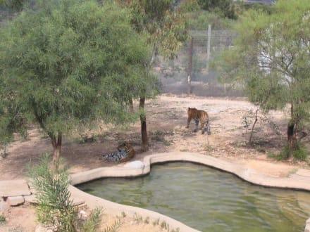 Tiger - Friguia Park