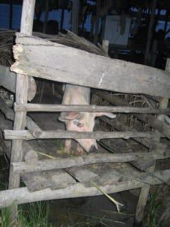 Schwein der Indianer - Orinoco Delta