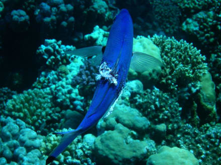 Unterwasserwelt 6 - Tauchen Marsa Alam