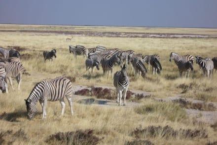 Zebras! - Etosha Nationalpark