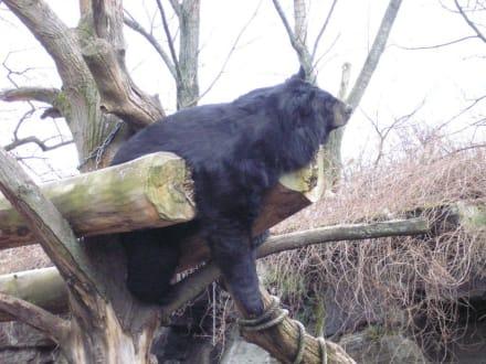 Schlafender Bär im baum - Zoologischer Garten Köln