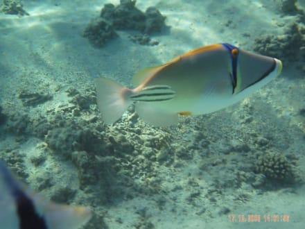 tolle Fische in fast ungestörter Umgebung - Schnorcheln Nabq Bay
