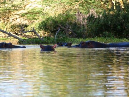 Nilpferde in Mzima Springs - Mzima Springs