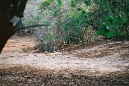 Leopard - Yala Nationalpark