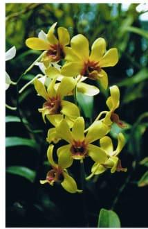 Orchidee im Botanischen Garten - Botanischer Garten Peradeniya
