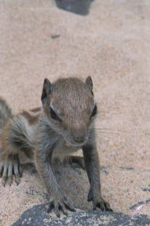Streifenhörnchen ... - Strand Jandia