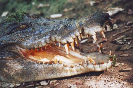 Große Klappe - Krokodilfarm
