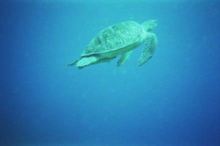 Schildkröte beim Auftauchen - Tauchen Abu Dabab