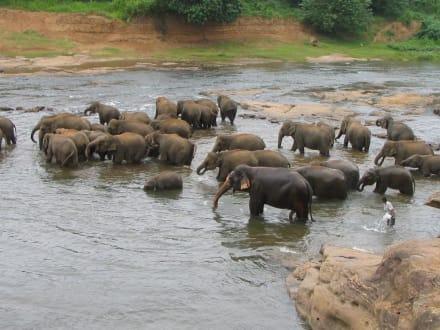 Elefanten in Pinawela - Elefantenwaisenhaus Pinnawela