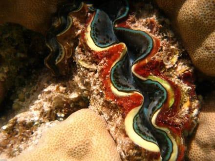 Muschel am Riff - Schnorcheln El Quseir