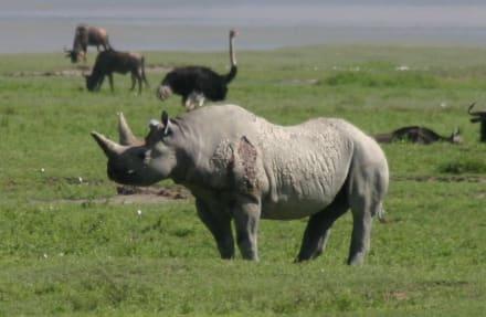Kifaru im Ngorongoro Krater - Ngorongoro Reservat