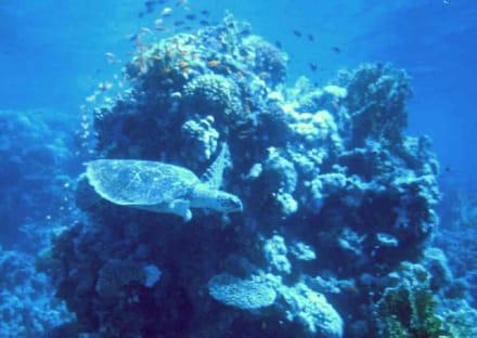 Schildkröte am Hausriff - Tauchen Sharm el Sheikh