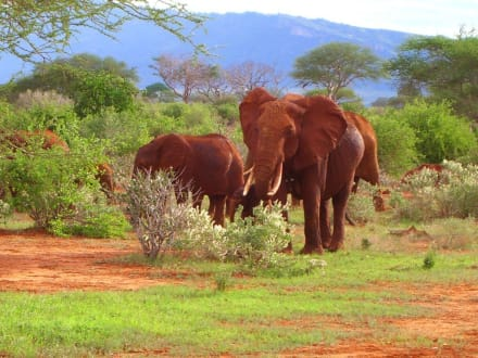 Elefanten - Tsavo Ost Nationalpark