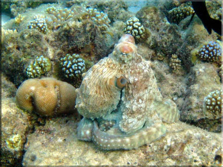 netter Octopus - Tauchen Ari Atoll