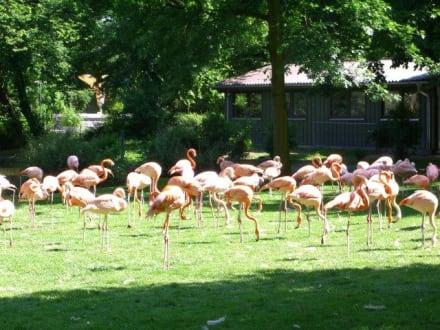 Flamingos - Zoologischer Garten Köln