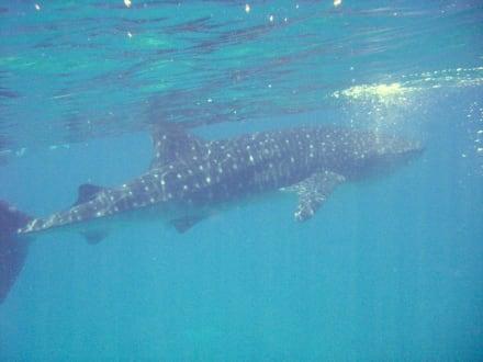 Walhai - Schnorcheln Ari Atoll