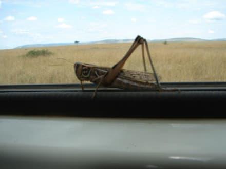Heuschrecke - Masai Mara Safari