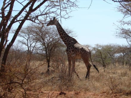 Netzgiraffe - Tsavo West Nationalpark