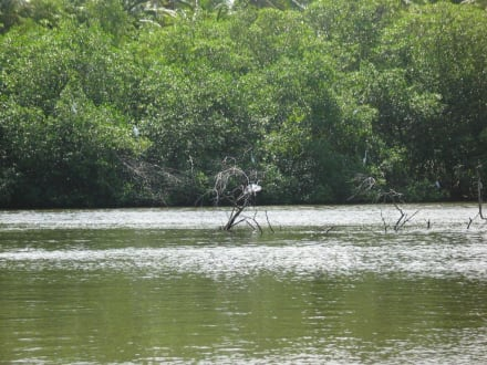 Reiher auf versunkenem Baum - Los Haitises Nationalpark