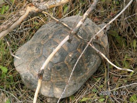 Schildkröten in Lyrbe - Antike Stadt Seleikeia (Lyrbe)