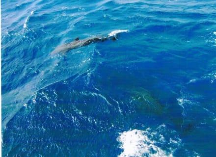 Delphine vom Boot aus  - Giftun / Mahmya Inseln