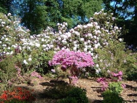 Ein schöner blühender Rhododendronbusch. - Schloss Wolfsgarten