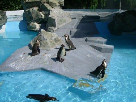 Pinguine  - Zoologischer Garten Köln