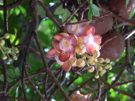 Buddahbaum - Koggala See