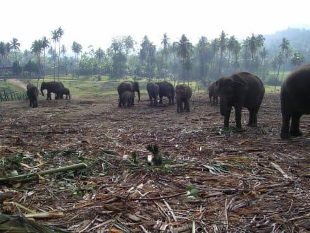 Elefantenwaisenhaus auf dem Weg nach Kandy - Elefantenwaisenhaus Pinnawela